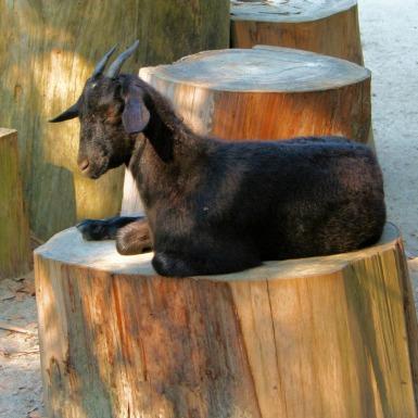 goat-60837