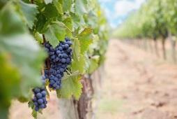 grapes-1952035